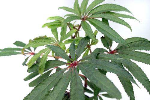 Begonialuxurians