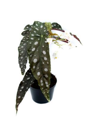 "Begoniamaculata""Wightii"""