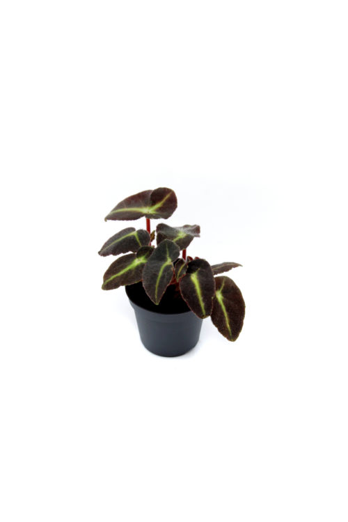 Begoniarex listada