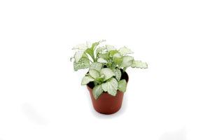 Fittonia weiß