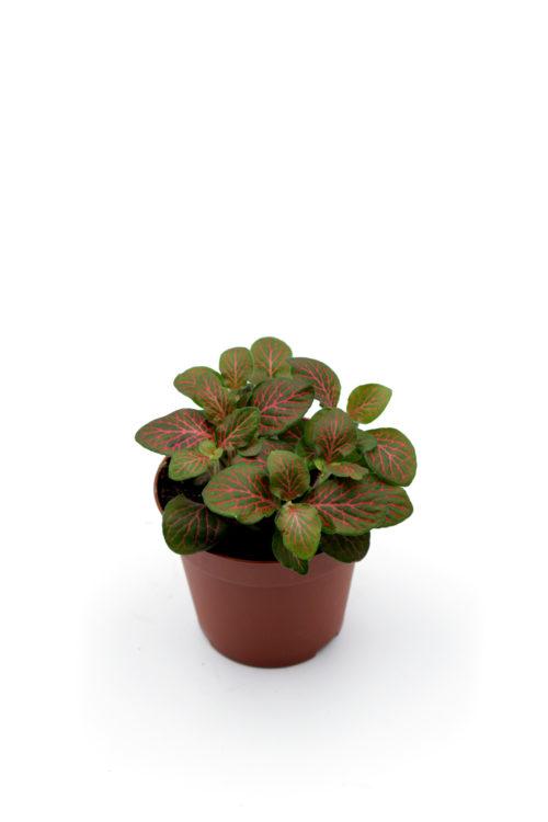 Fittonia grün/rot