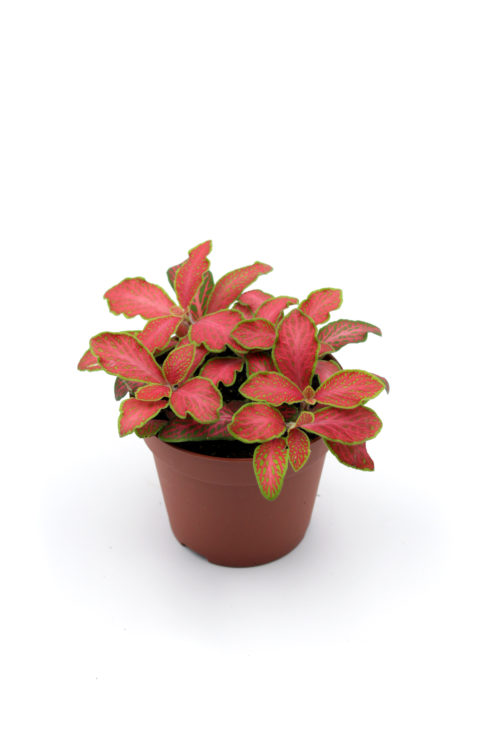 Fittonia rot