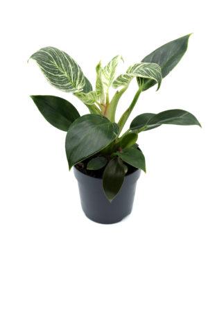 "Philodendron ""Birkin"""