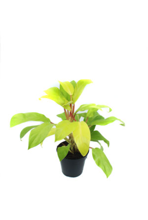 """Philodendron """"Malay Gold"""""""