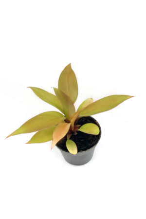 """Philodendron """"Prince of Orange"""" - Small"""
