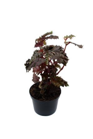 Begoniaserratipetala